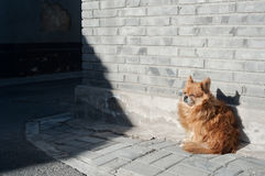 Small dog sheltering from the wind on a Beijing hutong street. BEIJING, CHINA - Small dog sheltering from the wind on a Beijing hutong street Royalty Free Stock Photography