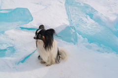 Small dog sit on ice block covered with snow in Lake Baikal royalty free stock images