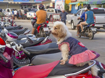 Small dog sits on moped Stock Image