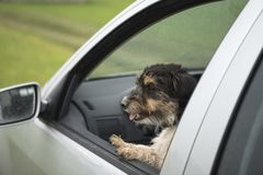 Small dog looks out of the car window - jack russell terrier 2 years old. Small dog is sitting in a car and looking out of the car window - jack russell terrier royalty free stock image