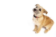 Small Dog Sitting Down Royalty Free Stock Photos