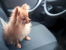 Small dog sitting safe in the car on the back seat. Photo Royalty Free Stock Images
