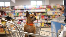 Small dog is sitting in supermarket cart an looks around in 4K slow motion close up video. Close up slo motion video of a small dog is sitting in supermarket royalty free stock photography