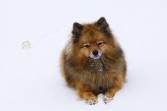Small dog sitting on white snow breed German Spitz, closeup Royalty Free Stock Photo