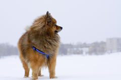 Small dog sitting on white snow breed German Spitz, closeup Stock Images