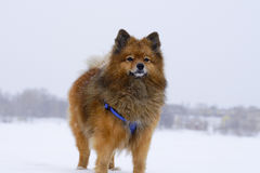 Small dog sitting on white snow breed German Spitz, closeup Royalty Free Stock Images