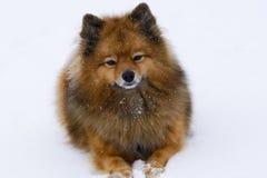 Small dog sitting on white snow breed German Spitz, closeup Royalty Free Stock Photos