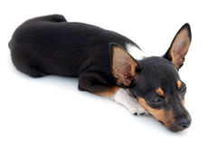Small dog sleepy Royalty Free Stock Photography
