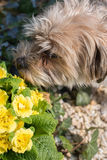 Small dog smells in yellow blossoming primroses.  Royalty Free Stock Photography
