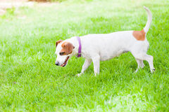 Small dog sniffing lawn. A small female dog sniffing grass on the lawn Stock Photography