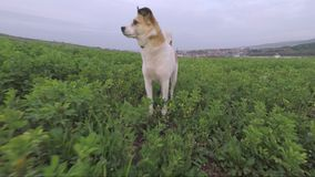 Small dog sniffing through the lucerne field stock footage