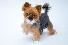 Small dog in snow. Yorkshire terrier. Winter royalty free stock photography