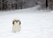 Small dog in a snowy forest. A small dog in a snowy forest royalty free stock images