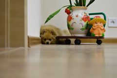 Small dog Spitz is in the corner of the room Stock Images