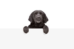 A small dog standing behind blank panel Stock Photography