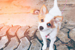 Small dog standing curious in home. Royalty Free Stock Photography