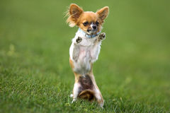 Small dog. Standing on two legs Stock Image