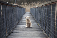 Small dog on bridge Royalty Free Stock Photos