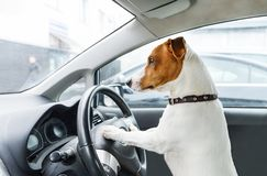 Small dog steers the car. Jack Rassell terrier take wheel. Closeup photo royalty free stock photo