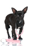 Small dog with stethoscope Stock Photo