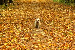 Small dog stomping on carpet of yellow autumn leaves Royalty Free Stock Photo