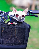 Small dog in sunglasses Stock Photos