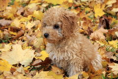 Small dog Sunny. The best play for small dogs is in coloured autumn leaves. Just the same colour as dog Sunny Royalty Free Stock Photo