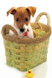 Small dog with a toy. Puppy sitting in the green box, and below it a toy duckling Royalty Free Stock Image