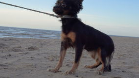 A small dog a toy-terrier breed walks on the shore of a large lake. The dog and the sand are illuminated by the evening sunset. The dog is afraid of the camera stock footage