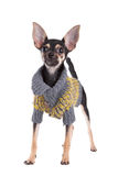 Small dog toy terrier in clothes Royalty Free Stock Photo