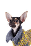 Small Dog Toy Terrier In Clothes Stock Images
