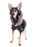 Small dog toy terrier in Jacket with a hood Stock Image