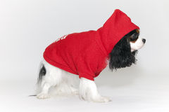 Small dog in a tracksuit Stock Photography