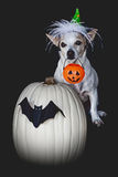 Small Dog Tricks For Treats On Halloween Royalty Free Stock Image