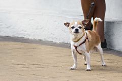 Small dog on a walk in the city Royalty Free Stock Photo