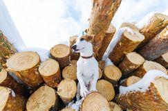 Small dog on a walk, posing in front of a pile of stacked logs, in winter forest royalty free stock image