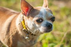 Little dog walking on green grass. A small dog, walking on green the grass. She is illuminated by the sun, her gaze is directed at the viewer Royalty Free Stock Photos