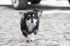 Small dog walking Royalty Free Stock Photos
