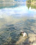 Small dog in water of scenic lake shore. Small dog wadding in water on lake shore with calm water and trees reflecting on lake in background Stock Image