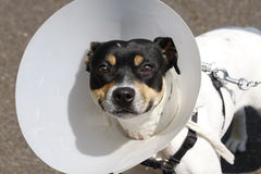 Small dog wearing a cone Royalty Free Stock Images