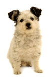 Small dog on white background Stock Photography