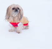 Small dog wearing jacket in winter Stock Image
