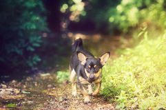 Small dog in woods Royalty Free Stock Photography