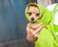 Small dog wrapped in the towel. After bathing Stock Image