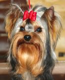Small dog Yorkshire terrier. Small dog with a bow Royalty Free Stock Photos