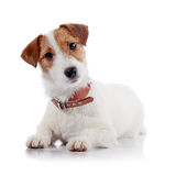The small doggie of breed a Jack Russell Terrier Royalty Free Stock Photo
