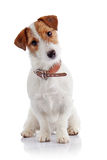 Small doggie of breed a Jack Russell Terrier Stock Photography