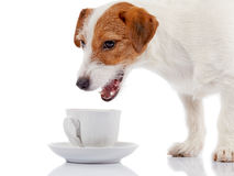Small doggie of breed a Jack Russell Terrier and white cup. Stock Image