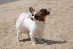 Small doggie of breed of papillon Royalty Free Stock Photo
