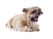 Small doggie of breed of a shih-tzu Stock Photos